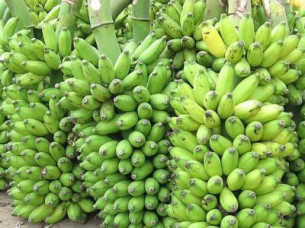 Fresh Banana Supplier..