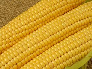 Fresh Yellow Corn..