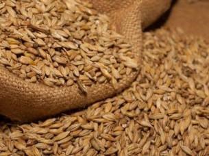 Barley Seed..