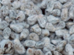 Cotton Seed For Sale in Bulk..