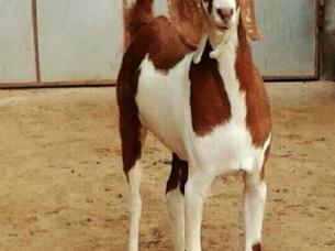 Goat for Eid Festival..
