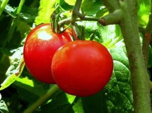 Hybrid Tomato Seeds..