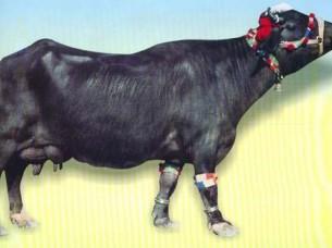 Nili Ravi Buffalo on Order..