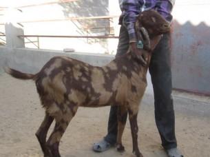 Sirohi Goat Livestock..