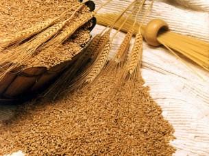 Quality Wheat Grain..