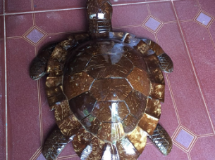 COCONUT TURTLE..